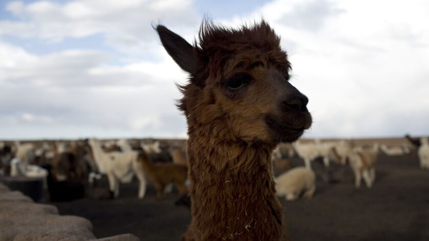 This Dec. 11, 2018 photo shows a llama on the Vinto homestead, on the outskirts of Santiago de Macha
