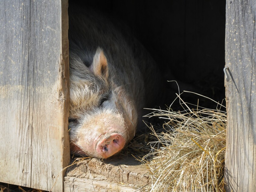 Hundreds of malnourished pot-bellied pigs in Kentucky face euthanization if homes can't be found in the coming weeks.
