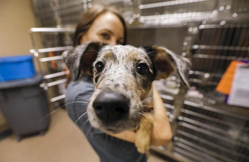 Una voluntaria sostiene a un perro en un centro de salud para mascotas. EFE/Archivo