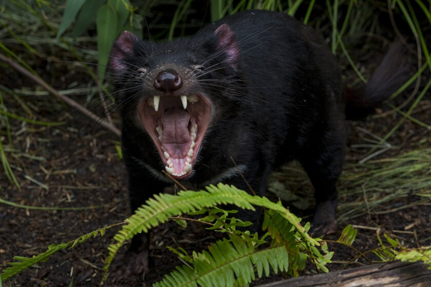 Tasmanian devils at San Diego Zoo