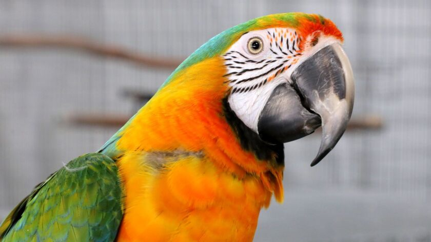 "Close up view of ""Copias,"" a Catalina Macaw for sale here on East Valley Parkway in downtown Escondido."