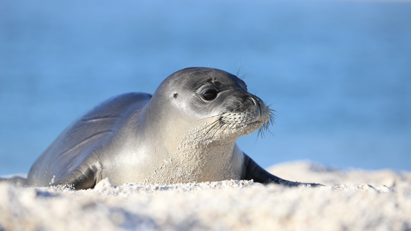 Rescued male monk seal pup