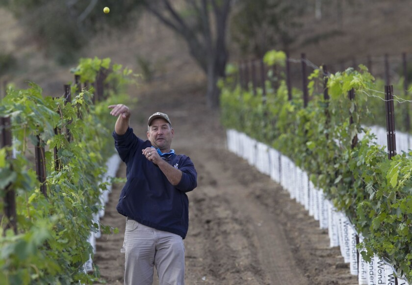 Jade Work, owner of the the old Fallbrook Golf course which he is transforming in to the Monserate winery and event center, threw an old golf ball from that he found between the rows of grape vines on the old golf course. The county approved a winery and restaurant last week.