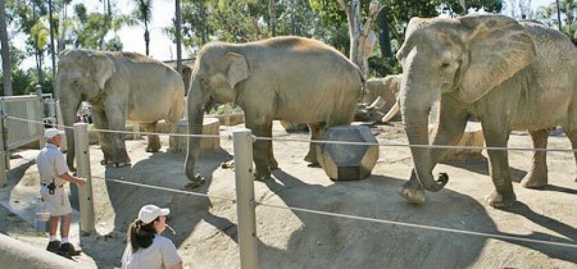 Elephants Sumithi (from left), Devi and Tembo lined up for zookeepers Tim Davis (left) and Victoria Zahn. Sumithi and Devi are Asian elephants; Tembo is African. (Nelvin C. Cepeda / Union-Tribune)