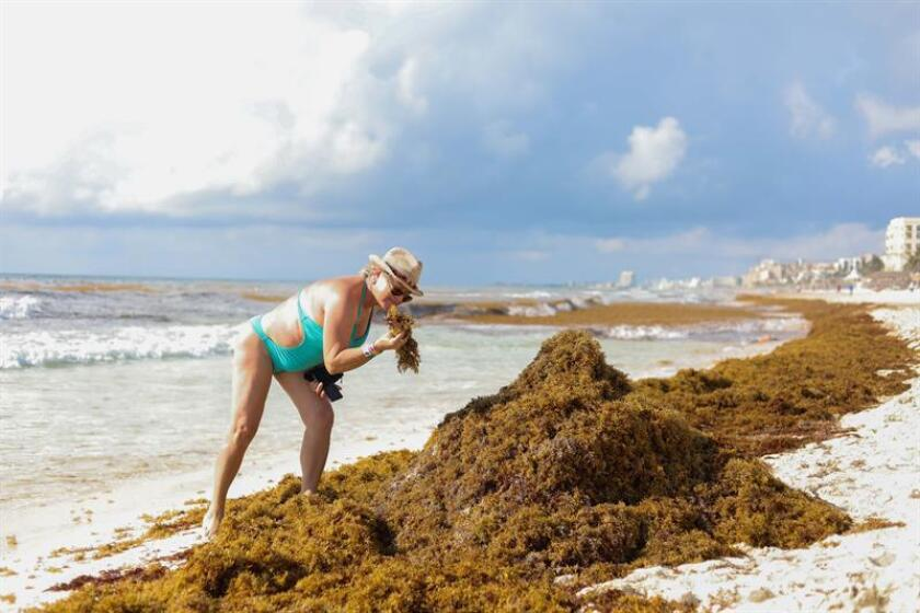 Halting the massive invasion of sargassum seaweed on beaches of the Mexican Caribbean, like the one seen here, is currently a government priority, particularly to protect Mexico's prosperous tourism industry. EFE-EPA/Alberto Valdez/File