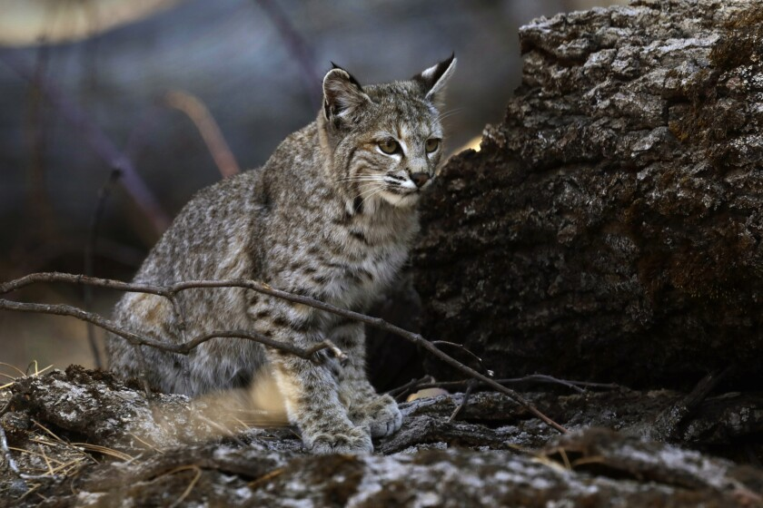 A young bobcat hunts for a meal in Yosemite Valley