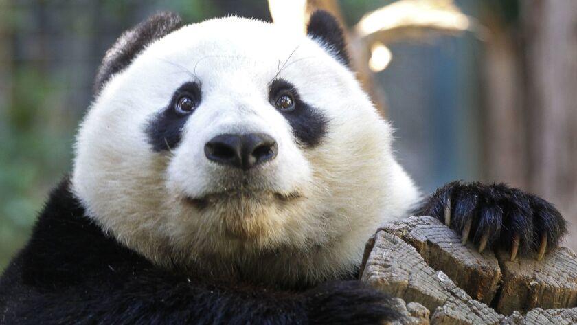 SAN DIEGO, October 25, 2018   Xiao Liwu, a young male panda born at the San Diego Zoo, at the San Di
