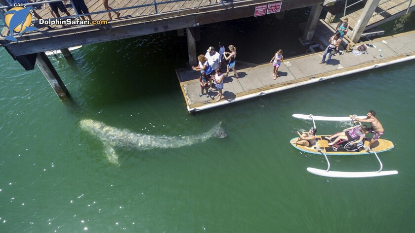 This aerial photo provided by DolphinSafari.com shows a baby gray whale in Dana Point Harbor, seen d
