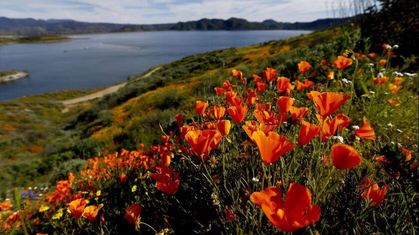 HEMET, CALIF. - MAR. 15, 2019. Caliofornia poppies bloom on the banks of Diamond Valley Lake in Hem