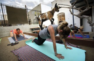 In goat yoga, the point isn't to sweat. It's to have a baby goat climb on your shoulders during your plank