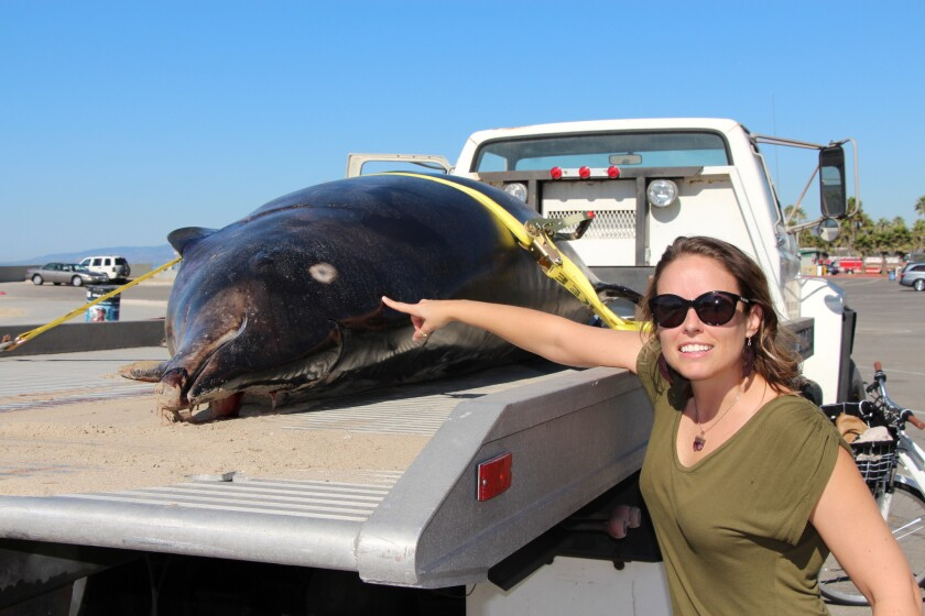 Heather Doyle, director of Heal the Bay's Santa Monica Pier Aquarium, points at the carcass of a rare Stejneger's beaked whale that was picked up from Venice Beach early Wednesday, Oct. 16, 2013.