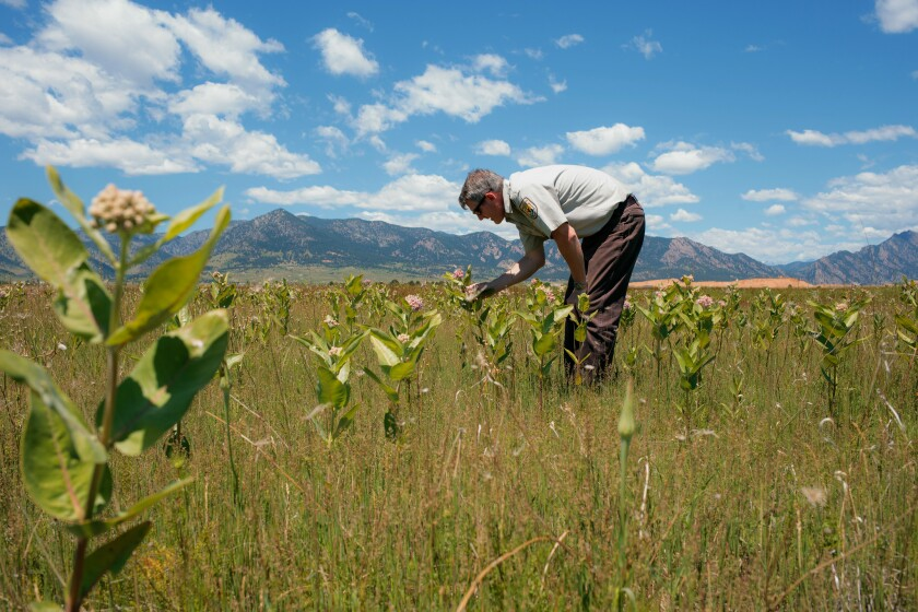 Refuge Manager David Lucas looks at a huge patch of milkweed for monarch caterpillars on a portion o