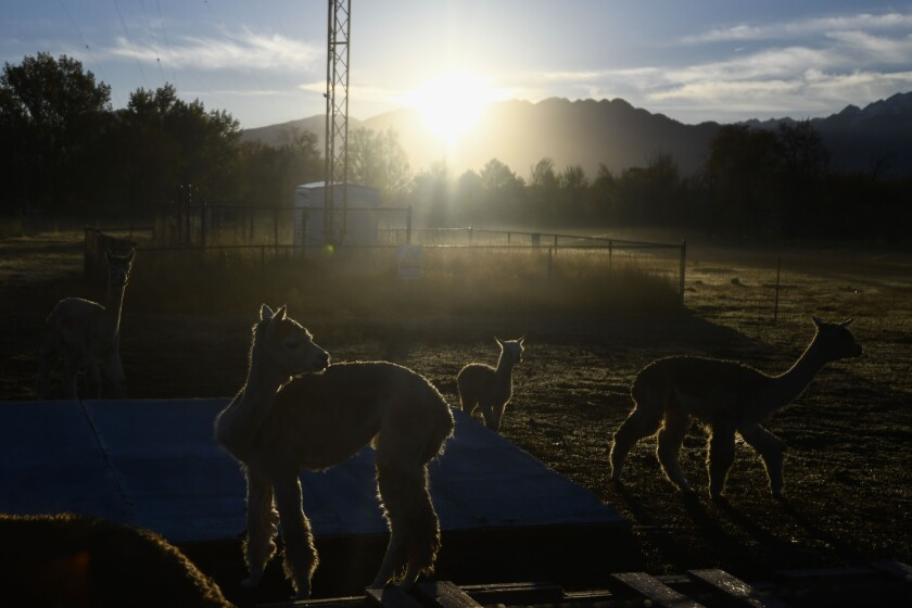A group of alpacas stand around the Roots Charter High School farm early on Wednesday, October 24, 2