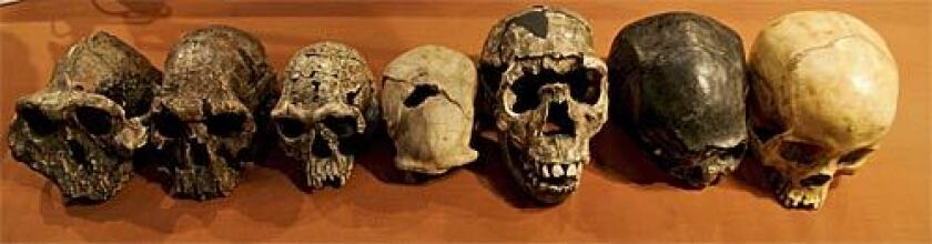 Plaster casts of skulls, from left to right, of the earliest fossil finds of humanoids to modern man at the National Museum of Kenya in Nairobi, November 8, 2007.