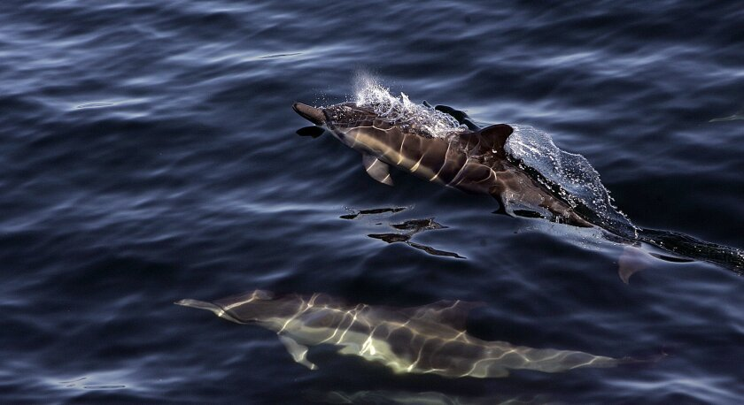 Common dolphins several miles south of Point Loma