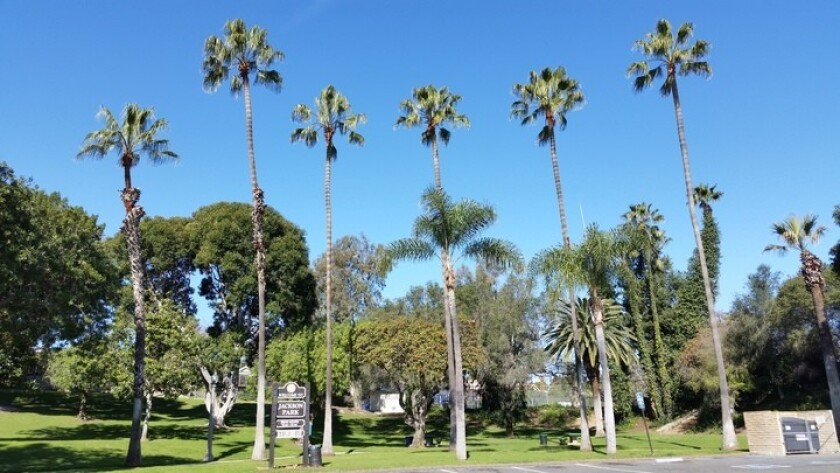 Palm trees at Jackson Park in La Mesa. The City Council is considering declaring a climate emergency in the city.