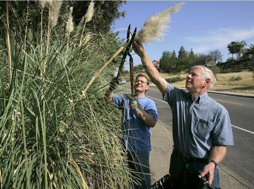Homeowner Kurt Schroeder (left) and volunteer Sandy Shapiro cut the  plumes of pampas grass plants. The plumes contain seeds that can be  carried long distances by the wind.