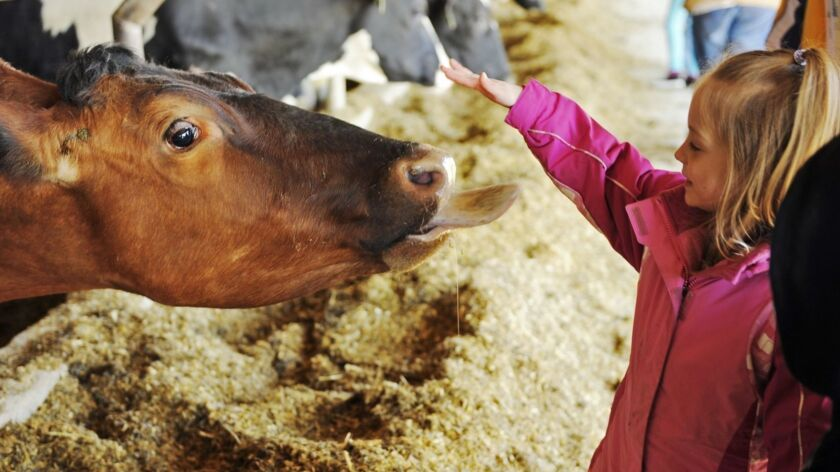 A child reaches out to pet a cow at a Connecticut farm. New research comparing men who grew up on farms with men who grew up in cities offers evidence that exposure to animals during childhood affects the immune system's response to stress in adulthood.