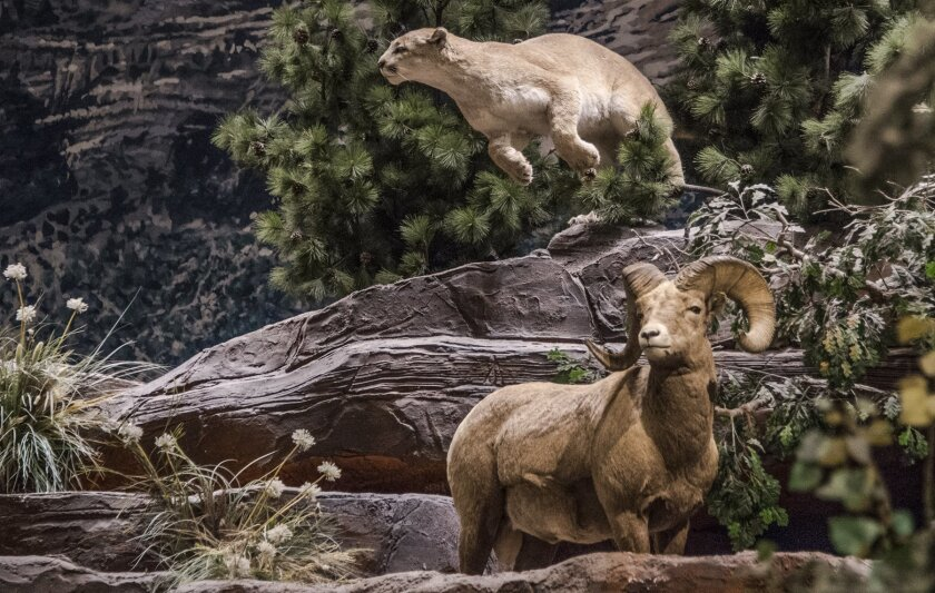 Mountain lion and ram