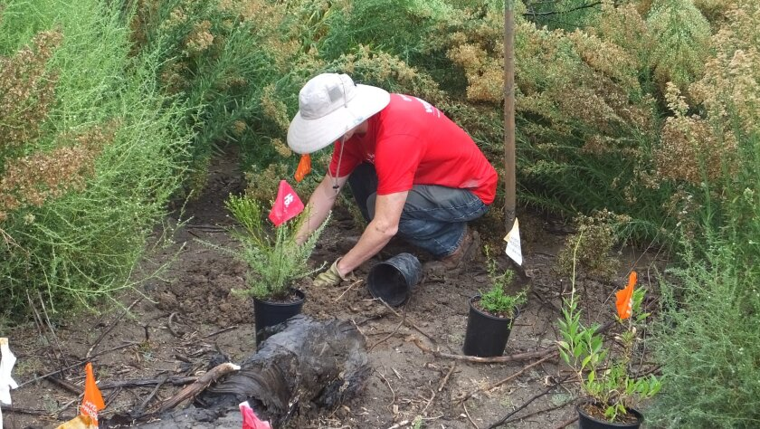 A volunteer helps restore the lagoon.
