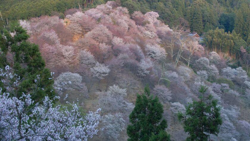 Japanese cherry trees in bloom on Mt. Yoshino in Yoshino city, Nara Prefecture, Japan. Mt. Yoshino,