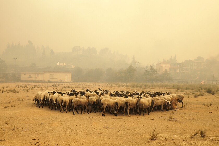 Sheep gather during a wildfire near Limni village on the island of Evia, about 160 kilometers (100 miles) north of Athens, Greece, Wednesday, Aug. 4, 2021. The European Union promised assistance Wednesday to Greece and other countries in southeast Europe grappling with huge wildfires after a blaze gutted or damaged more than 100 homes and businesses near Athens. (AP Photo/Thodoris Nikolaou)