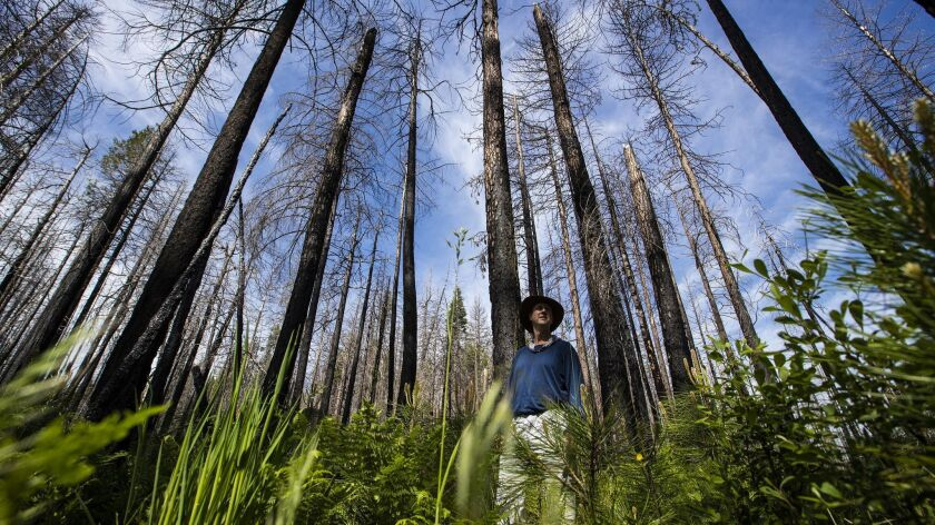 Ecologist Chad Hanson stands in a Rim Fire snag forest regenerating on its own with ferns, wildflowers and young trees.