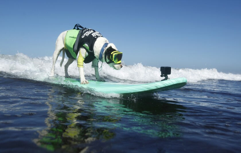 Faith, an American pit bull terrier, rides a wave in the medium division of the