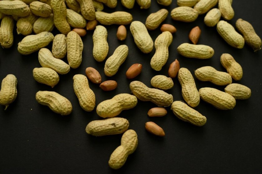 The best way to prevent peanut allergy is to embrace peanuts, not avoid them, a new study suggests.