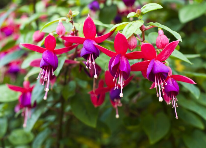 Move sun-shy potted plants like Fuchsia under the shade of a leafy tree or an east-facing eave.
