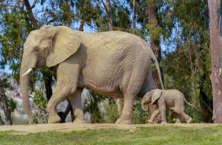 Baby Elephant Born on World Elephant Day at San Diego Zoo Safari Park