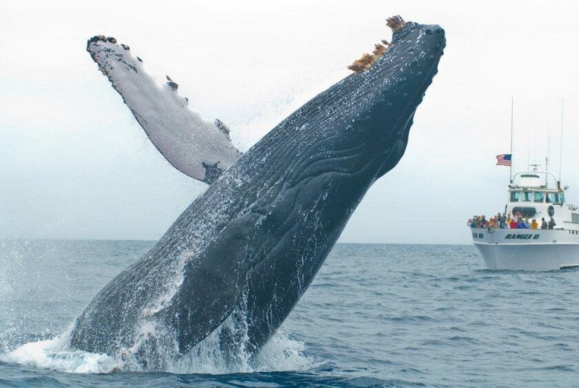Photo of a humpback whale breaching nine miles west of Point Loma.
