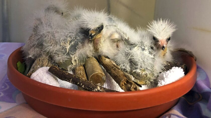 In this Wednesday, July 10, 2019 photo provided by International Bird Rescue, rescued snowy heron ch