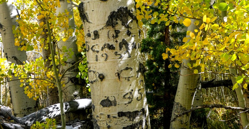 Basque Shepherd's arborglyphs carved on aspen trees in Lee Vining.