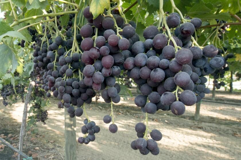la-fo-grapes-grapes-grapes-009.JPG