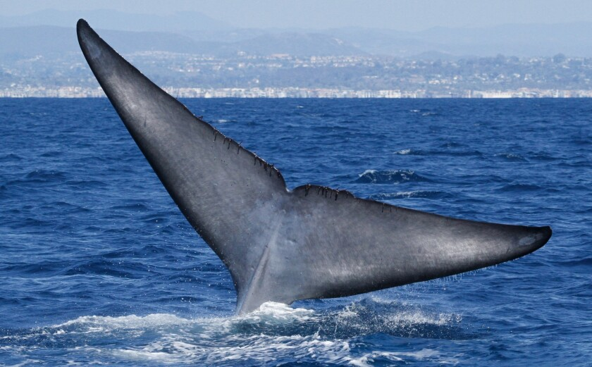 The fluke of a blue whale off the California coast.
