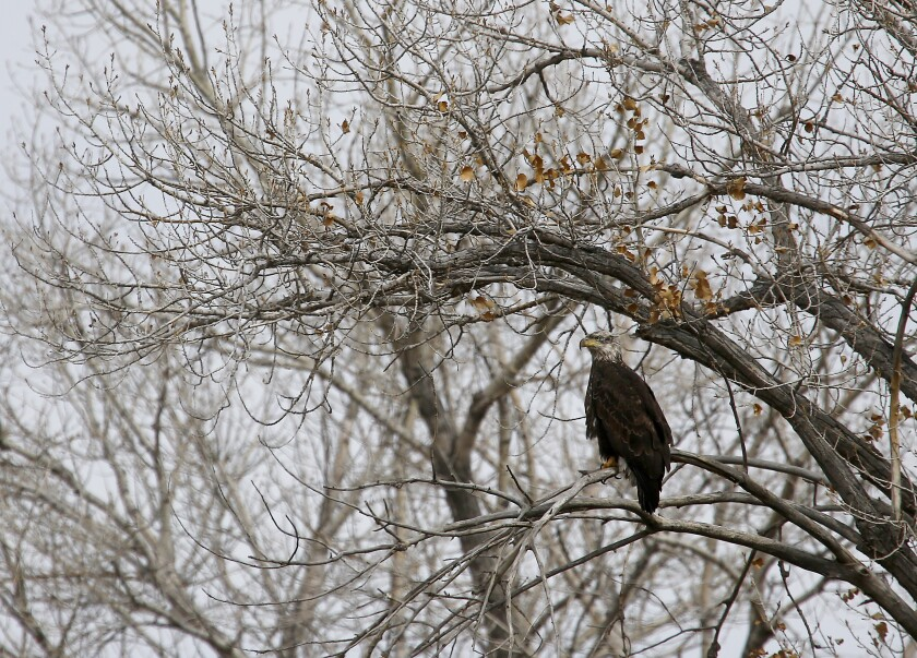 A bald eagle perches in a tree in Farmington, New Mexico