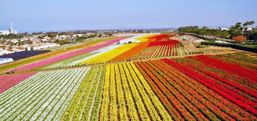Carlsbad's The Flower Fields in peak bloom. In April, the city of Carlsbad will launch its fourth-annual Petal to Plate promotion where local hotels, restaurants and spas will offer flower-themed food, cocktails, therapies and events.