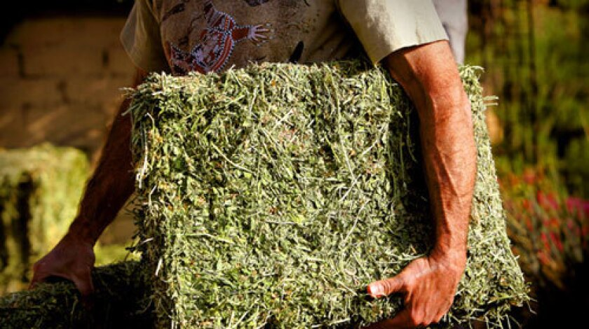 """Pat Marfisi carries alfalfa hay into his Hollywood Hills backyard, but there aren't any animals to feed. It's for his """"no dig"""" vegetable garden."""