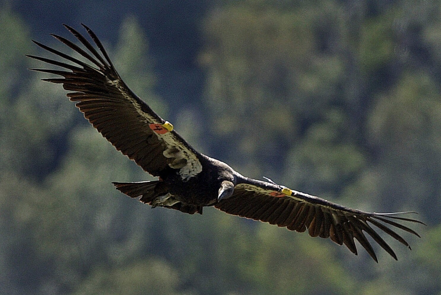 How the California condor returned from the brink of