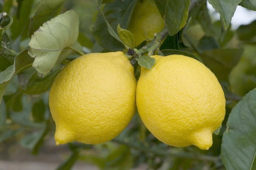 Femminello lemons, displaying the ample form for which they are named, on the tree at UC Riverside's Citrus Variety Collection.
