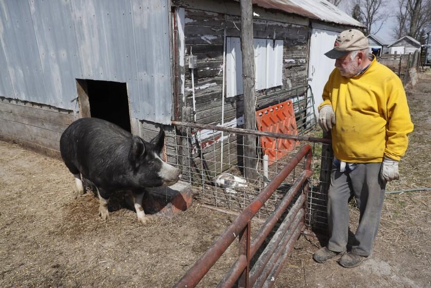 Chris Petersen looks at a Berkshire hog in a pen on his farm near Clear Lake, Iowa.