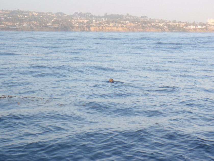 Scott Aalbers took this shot that appears to show a sea otter off the coast of La Jolla on Saturday.