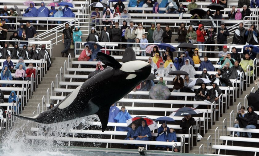 SeaWorld's killer whales were back in action on Wednesday, following the death of Sumar the day before.