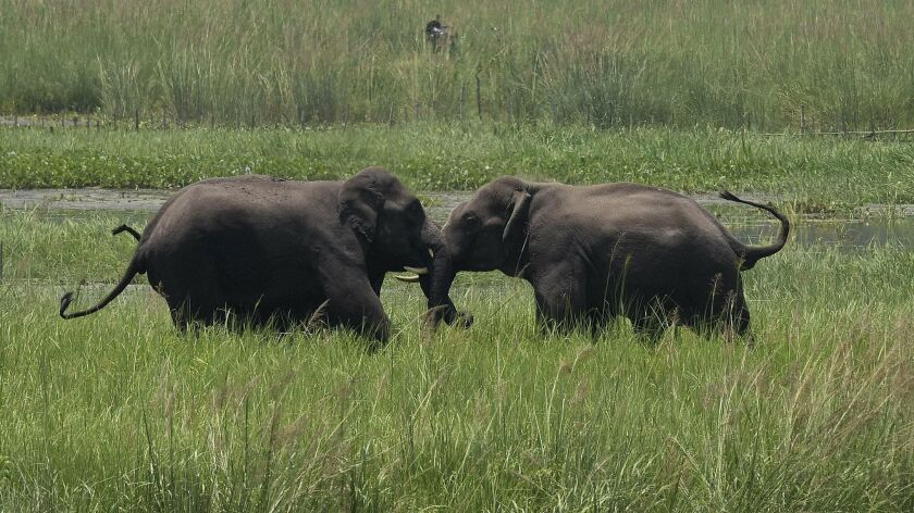 FILE - In this June 7, 2017, file photo, two wild elephants, part of a herd that arrived at a wetlan