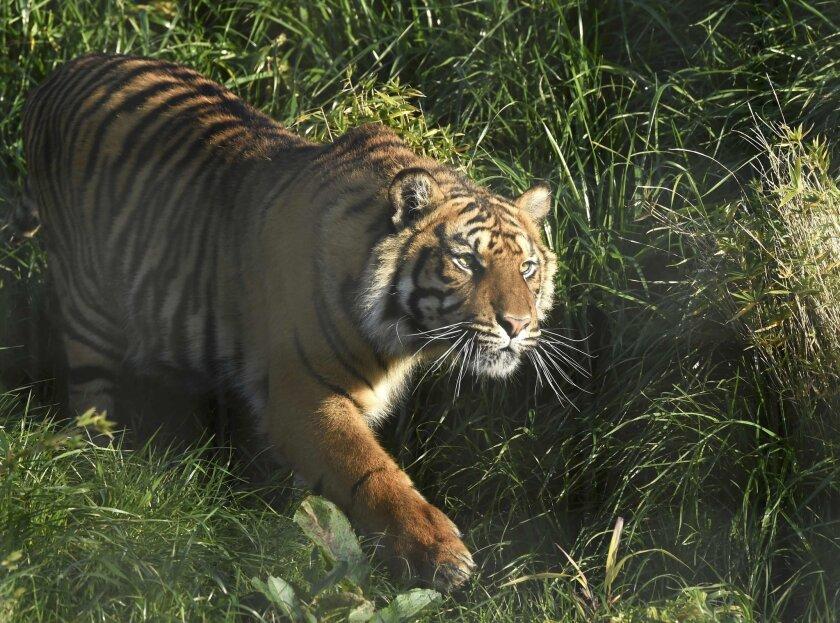 """Se encontraron huellas del tigre, de nombre """"Ankor"""", al oeste del puerto turístico de Acapulco"""