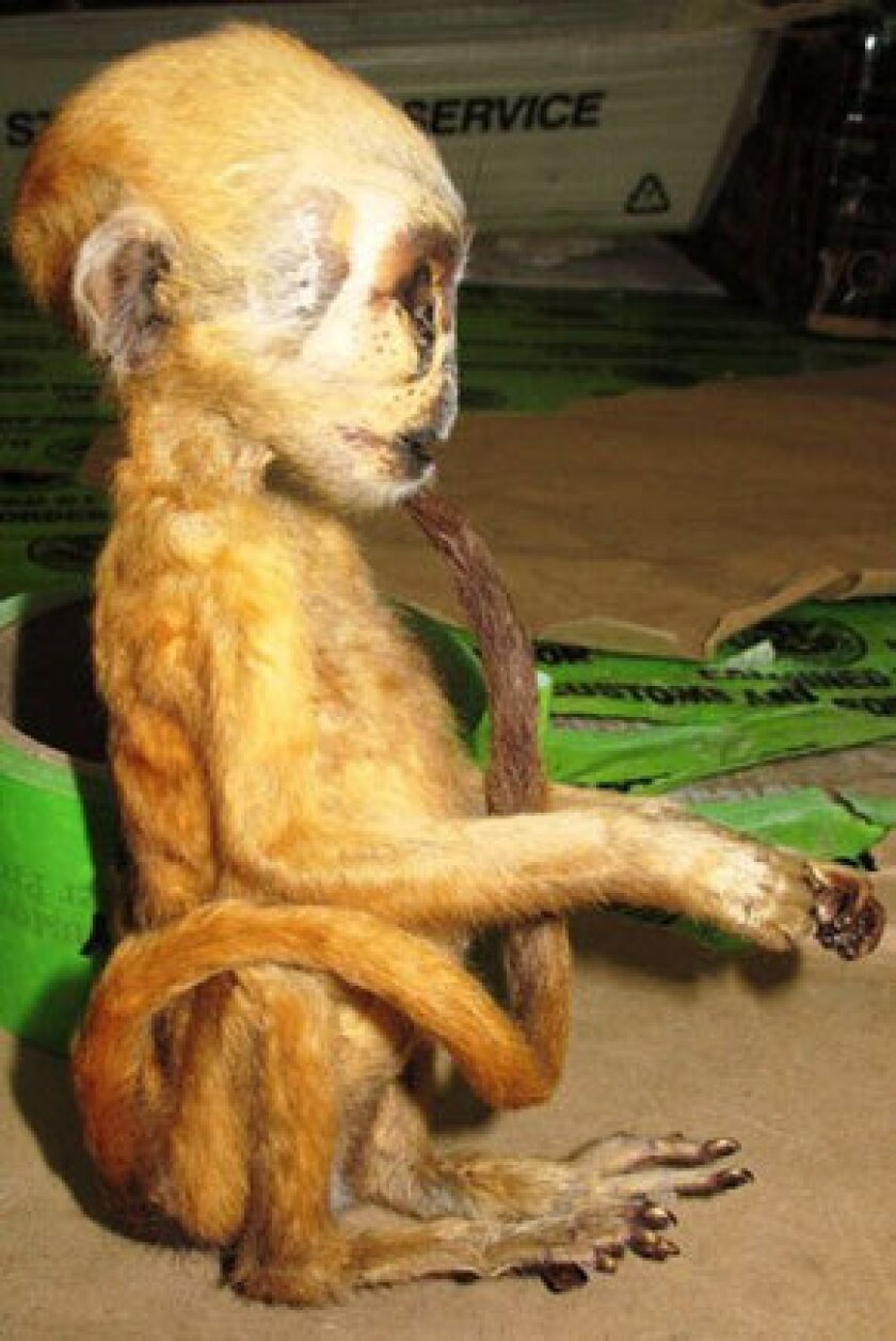 The body of a Macaque monkey seized May 10 at Los Angeles International Airport.