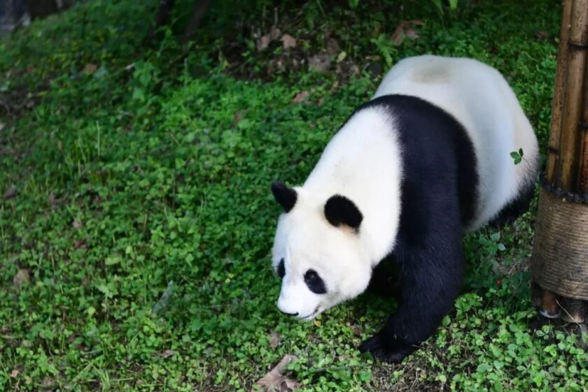 Bai Yun, back in China.