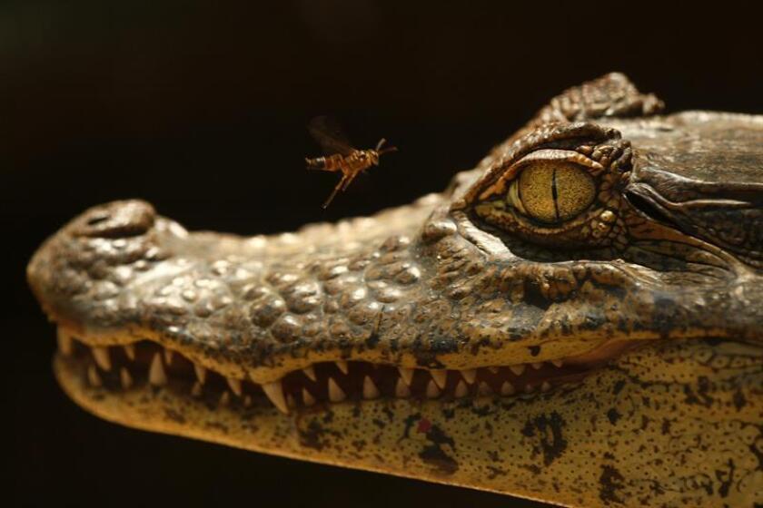 Detalle del rostro de un caimán. EFE/Archivo