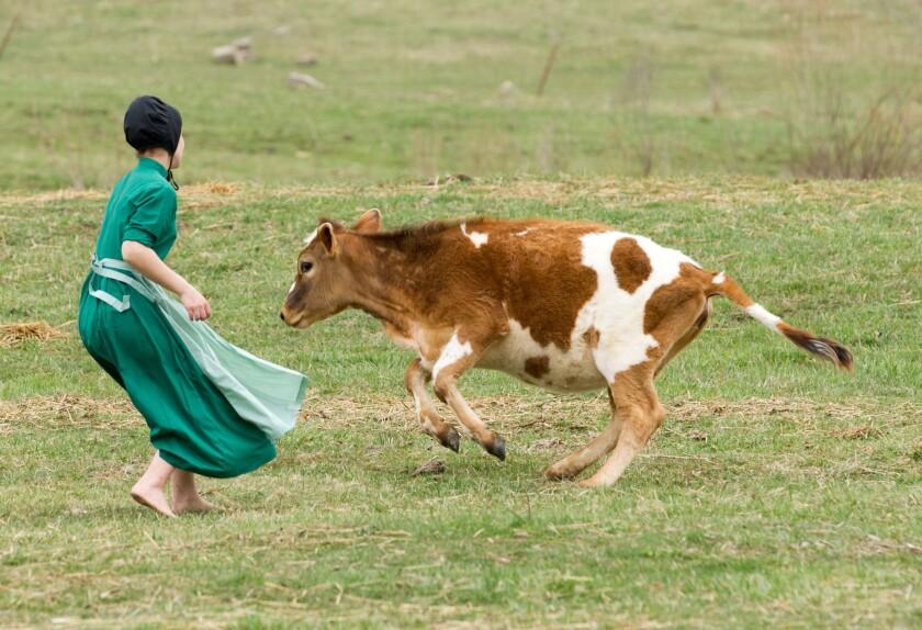 En esta imagen, una niña amish persigue una vaca para alejarla del campo en el que se celebra un juego de béisbol en Bergholz, Ohio. (AP Foto/Scott R. Galvin, Archivo)